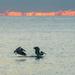 Playful pelicans