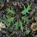 Eastern Black Oak leaves