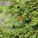 Monarch in a evergreen
