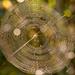 Sunslit Spider Web!