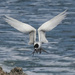 White fronted tern - angel wings + a fish