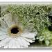 Gerbera in white