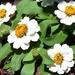 My Cream Zinnea Flowers ~