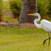 The Egret Stalking the Lizards!