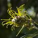 Grevillea seeds