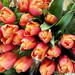 Tulips For The Season
