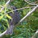 Juvenile Eastern Koel - Spots on the Back
