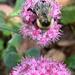 Late Season Pollinator