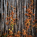 Autumn leaves on a wooden fence