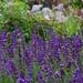 lavender in profusion