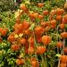 Chinese Lantern Seed hedads