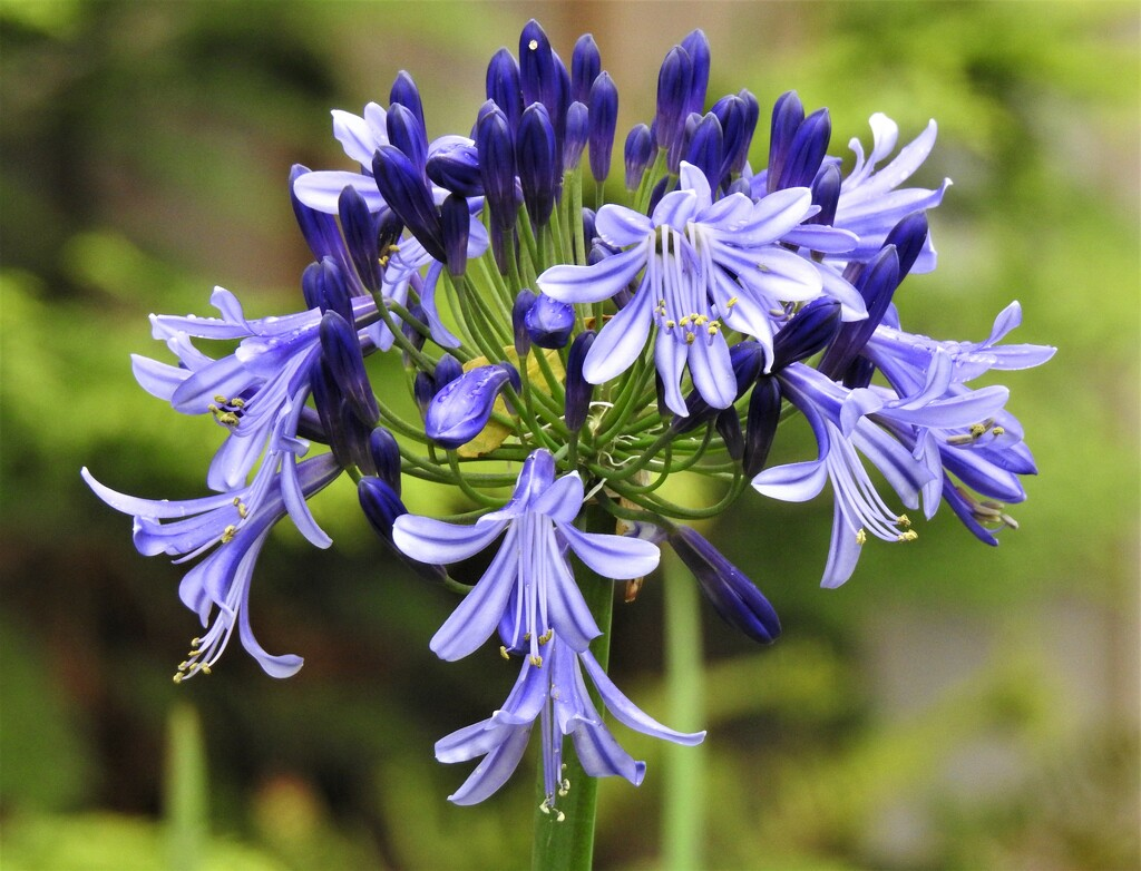 A Very Late Agapanthus Flower by susiemc