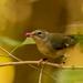 Bird Eating the Beauty Berries!