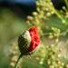 Poppy to bloom
