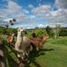 Watering the alpacas