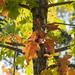Oak Fall Color