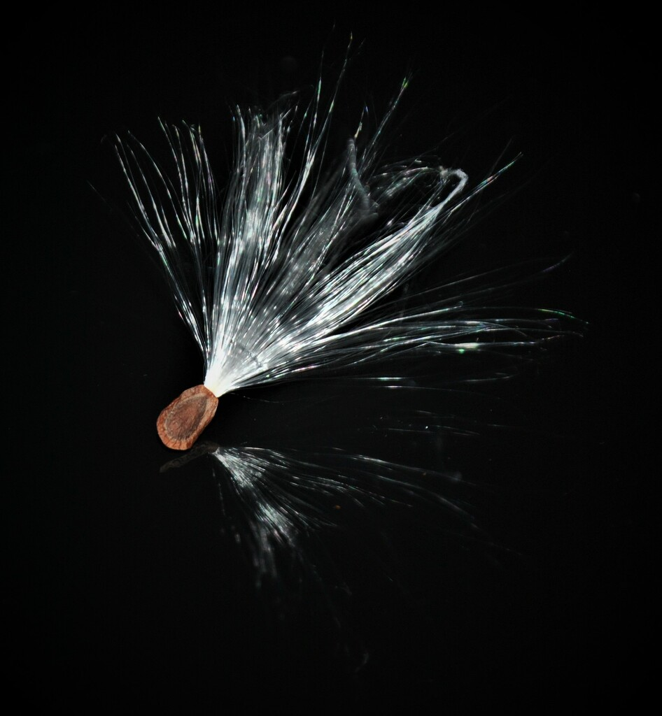 Day 299: Still playing with Milkweed seeds.... by jeanniec57