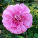 A lovely variety of English rose at the gardens.
