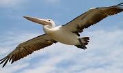 4th Nov 2009 - Pelican