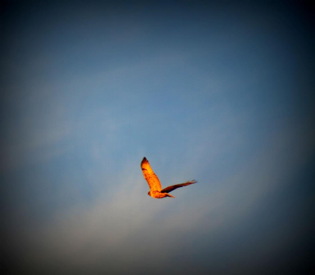 Flying Hawk by kerristephens