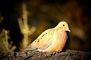 21st Jan 2011 - Mourning Dove