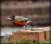 23rd Jan 2011 - Harbinger of Spring...