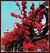 24th Jan 2011 - Winter Berries
