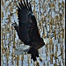 American Bald Eagle by bluemoon