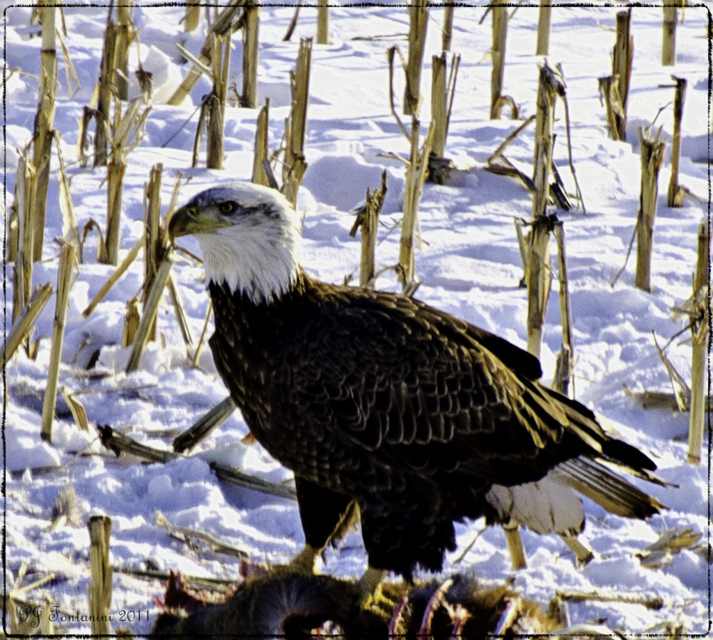 Bald Eagle Day 2 by bluemoon
