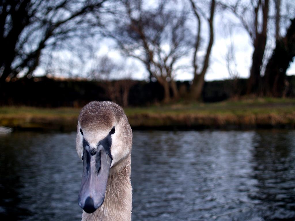 Swan Vista by rich57