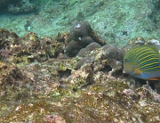 26th Jan 2011 - Blue lined Surgeonfish - second snorkelling trip