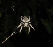 27th Jan 2011 - Resident Wolf Spider
