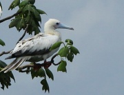 27th Jan 2011 - Red footed Booby in a tree