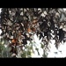 Monarch Butterflies Video by pixelchix