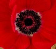 31st Jan 2011 - Red Flower