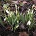 Galantus  nivalis .Spring by pyrrhula