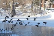 3rd Feb 2011 - Ducks