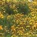 Sea of Yellow by cheriseinsocal