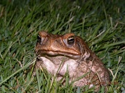 4th Feb 2011 - Cane toad