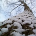 Snowy Oak Tree by julie