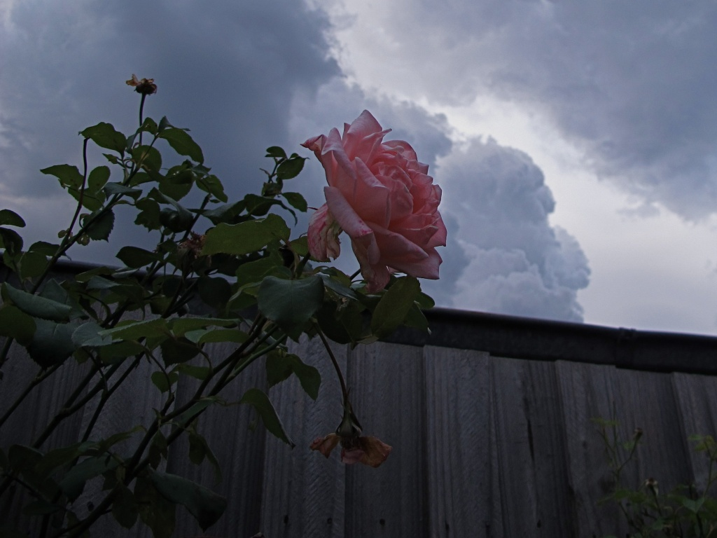 Cloudy rose by alia_801