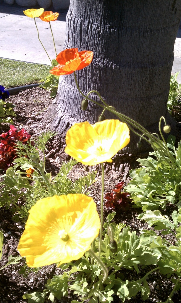 California Poppies by msfyste
