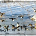 Lame Ducks by bluemoon